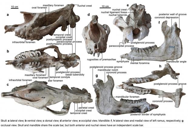 Los científicos han descubierto fósiles del mamífero más grande que jamás haya vivido en la Tierra 01 |  TweakTown.com